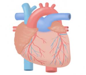 心臓の役割